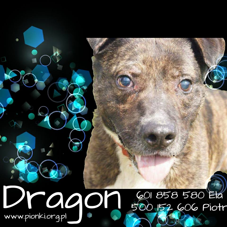Dragon – pies w typie amstaffa do adopcji