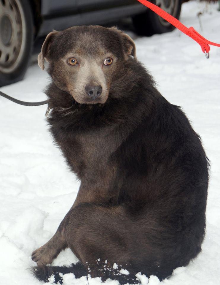 Brązowy pies do adopcji Pionki koło Radomia