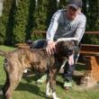 Dragon – pies w typie amstaffa do adopcji