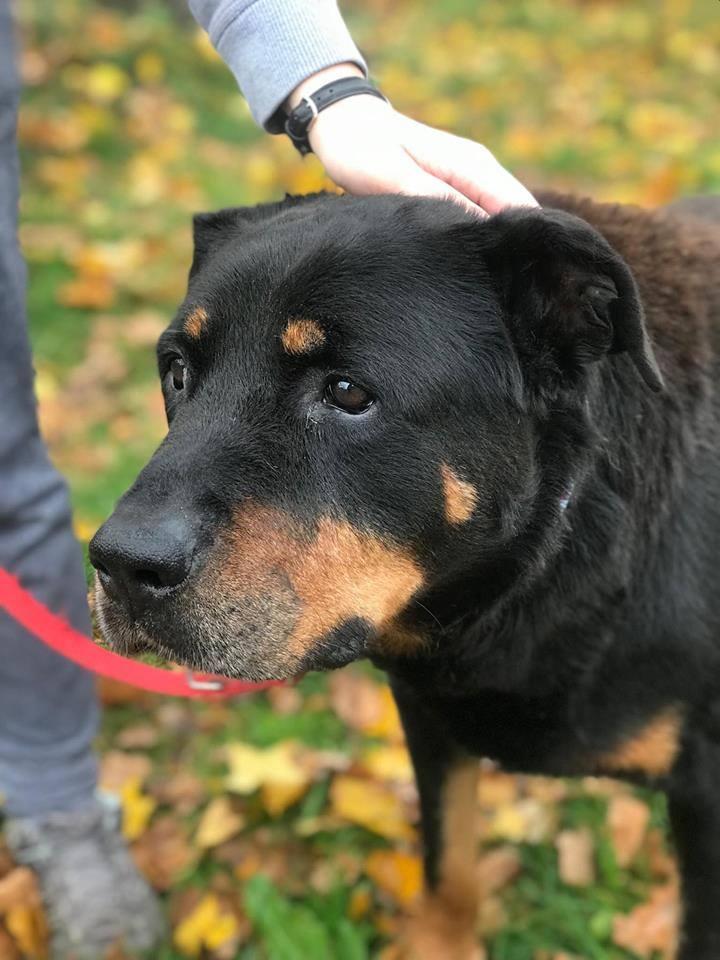 Pies do adopcji Rottweiler Warszawa mazowieckie 606-854-980