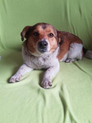 Pies SUNIA do Adopcji - MILKA - MIKROSUNIA