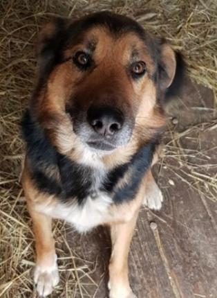 Pie w typie Owczarka Niemieckiego Do Adopcji BARY