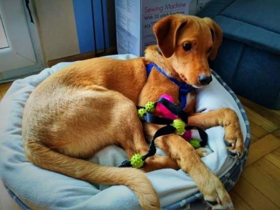 Młody pies do adopcji Lolek Warszawa Mazowieckie