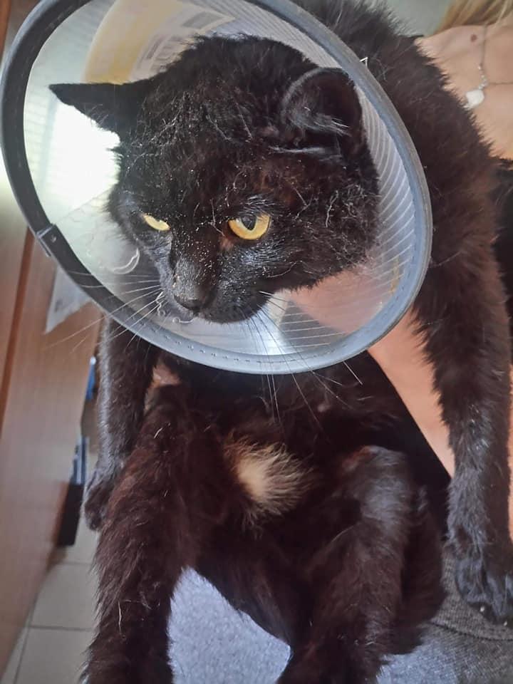 Kot Do Adopcji KLARENS Mazowieckie Warszawa