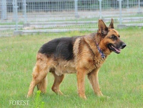 Wybitny Pies do Adopcji Forest Owczarek Niemiecki za darmo Warszawa LQ04