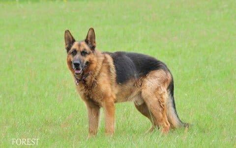 Oryginał Pies do Adopcji Forest Owczarek Niemiecki za darmo - Warszawa PTOnZ SG17