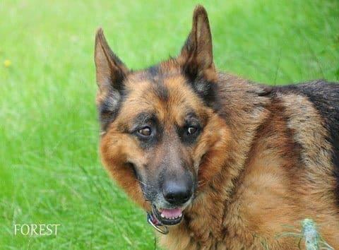 Pies do Adopcji Forest Owczarek Niemiecki