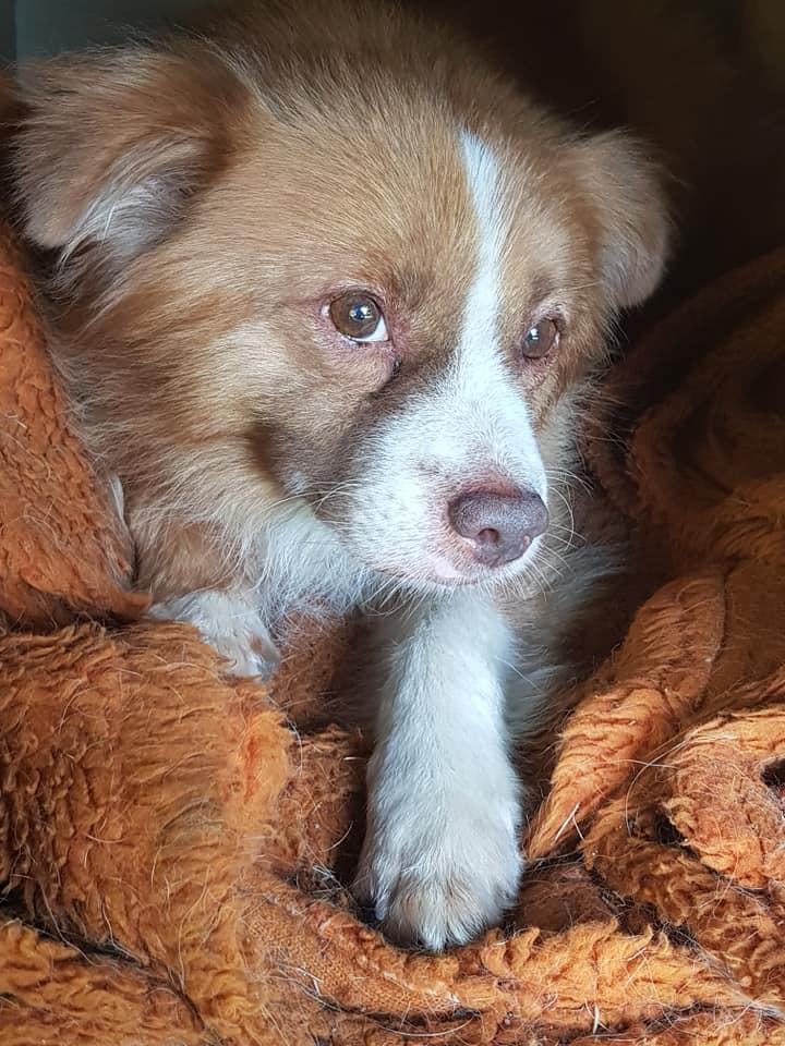 Pies Do Adopcji Karmelek Warszawa