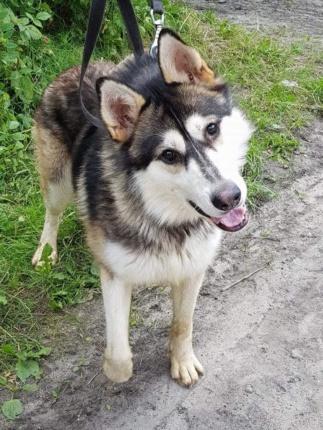 Pies do Adopcji HASAN MALAMUT