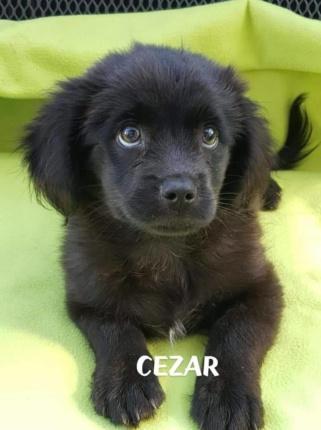 Szczeniak Do Adopcji CEZAR