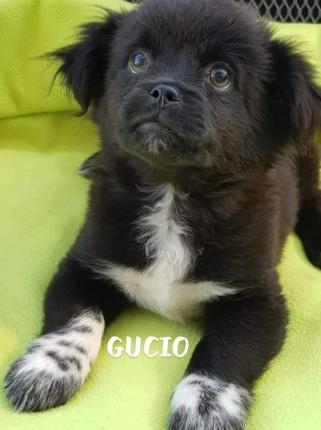 Szczeniak Do Adopcji GUCIO