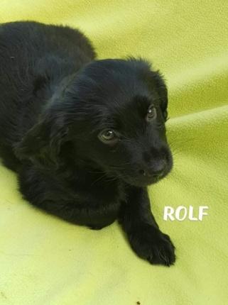 Szczeniak do Adopcji ROLF