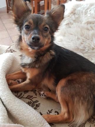 Pies Do Adopcji TOSIA